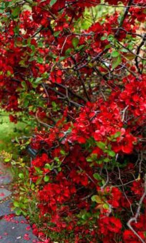 Соцветия айвы