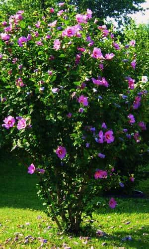 Гибискус сирийский розовый