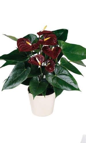 Орхидея горшковая