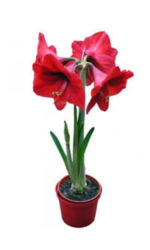 Красивоцветущее горшковое растение