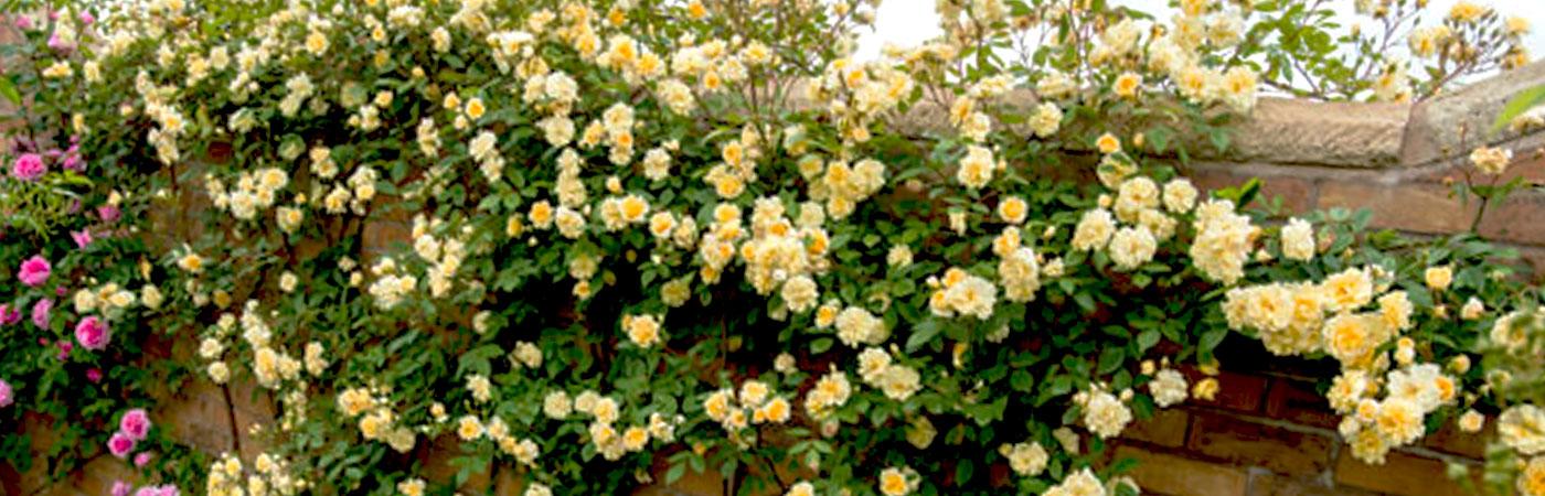 Виды плетущихся роз в дизайне ландшафта