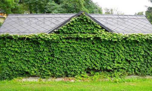 Стена из винограда