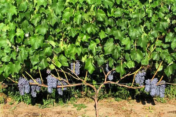 Виноград Амурский в ландшафтном дизайне